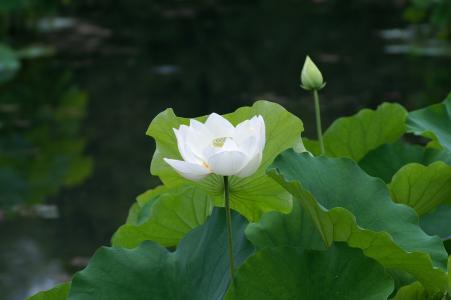 叶子,睡莲,白色,池塘,睡莲,莲花