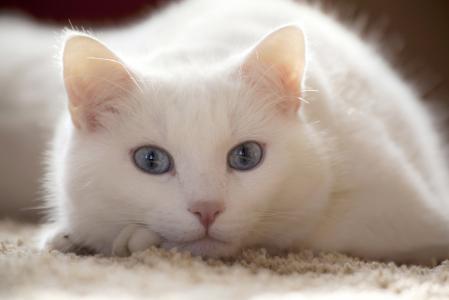 猫,白,说谎,看,看