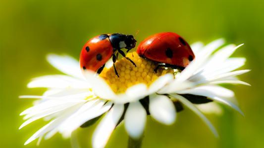 瓢虫,花卉