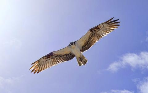 飞行,鸟,天空,翅膀