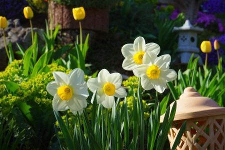 春天,花园,鲜花,水仙,郁金香,灯笼