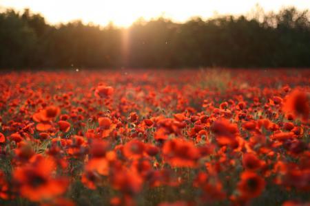 性质,林间空地,鲜花,罂粟,红色,领域