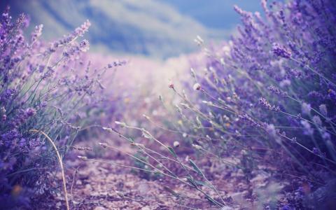 薰衣草,薰衣草,灌木丛