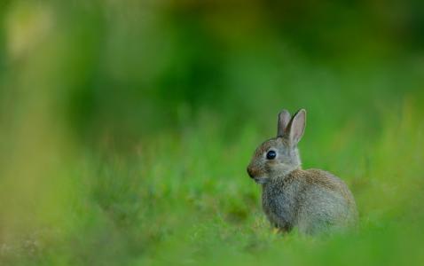 动物,野兔,草,绿党,背景,美女