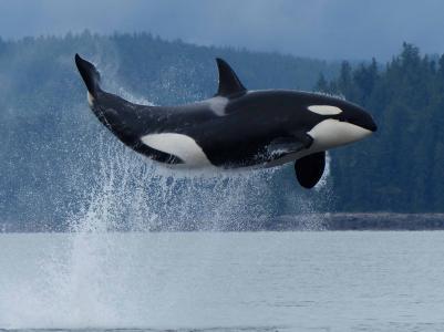 鲸鱼,鲸鱼,捕食者,湾,山,美丽