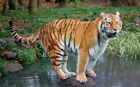 壁纸动物,老虎,水,石头。