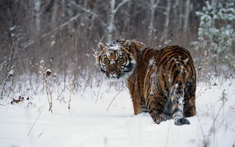 老虎,冬天,雪,性质,捕食者,猫