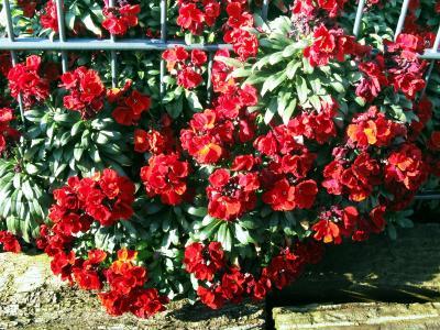 杜鹃花,红色