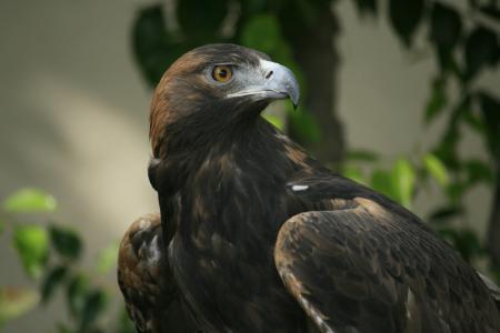 鹰,看,喙