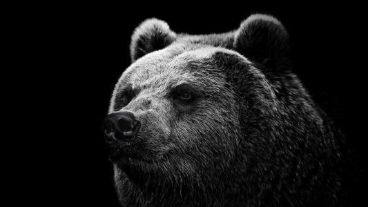 熊,熊,黑色,壁纸