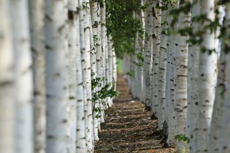 桦木,宏观照片,夏天,美丽