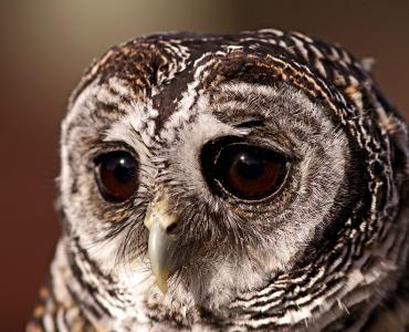 猫头鹰,猫头鹰,猫头鹰,猫头鹰,鸟,眼睛,伤心的样子