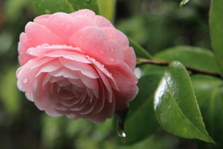 茶花,滴,粉红色,叶子,花瓣,花