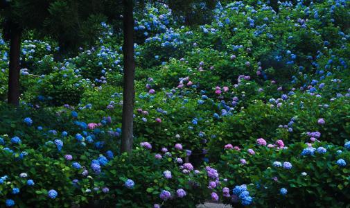日本,京都,花园,绣球花,鲜花