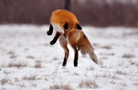 冬天,狐狸,雪,跳,场