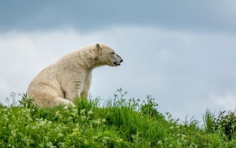 白熊,坐,草,天空