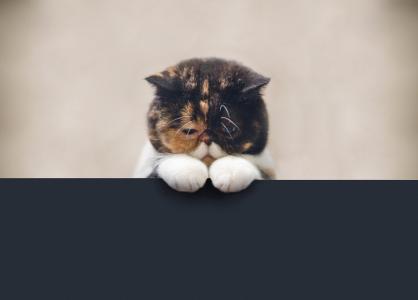 猫,悲伤,毛茸茸的