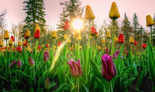 照片,性质,鲜花,春天,郁金香