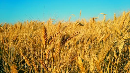 乌克兰,小麦,田地,天空,litto