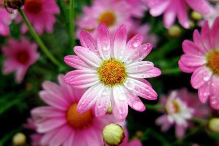 粉红色,花,滴,宏