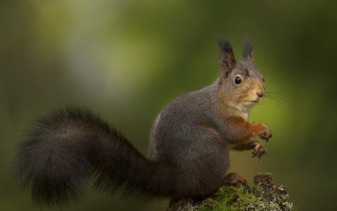 松鼠,灰颜色,蓬松的尾巴