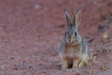 野兔,美丽,耳朵,口吻
