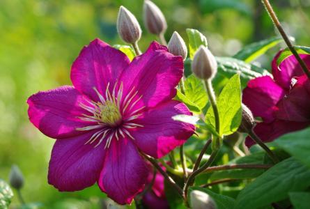 夏天,鲜花,芽,铁线莲