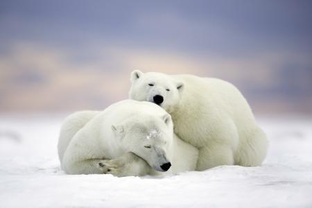 动物,掠食者,熊,夫妇