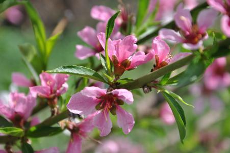 春天,开花,分支,树,桃子
