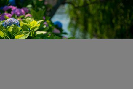 花,绣球花,公园,宏指令