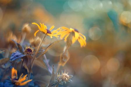 玛格达Bognar,自然,夏天,宏,鲜花,黄金菊,散景