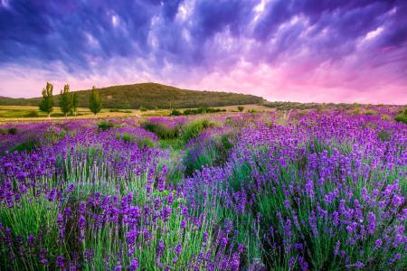 薰衣草,天空,性质,鲜花