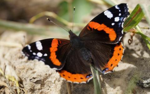 蝴蝶,性质,美丽,明亮,油漆