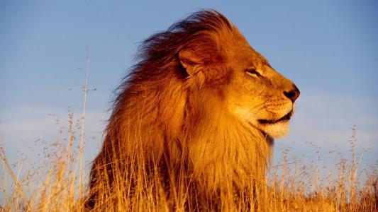 狮子座,狮子,狮子,野生,大猫