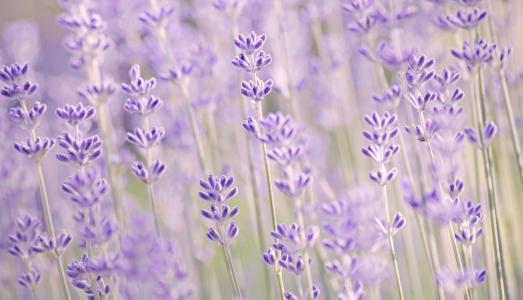 丁香,模糊,薰衣草,鲜花,宏,薰衣草