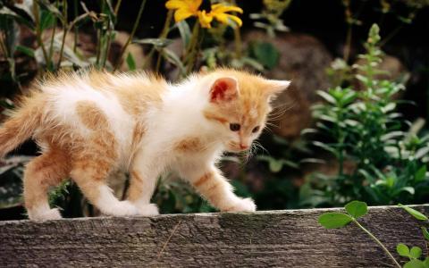 鲜花,猫,猫,白,红,小猫,猫