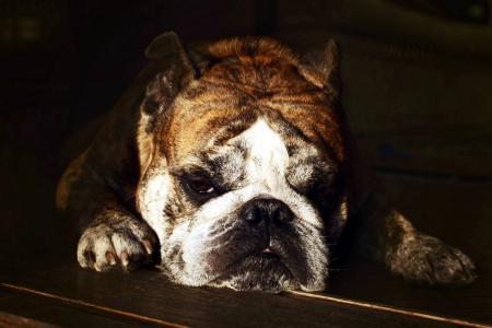 狗,牛头犬,马尔达,睡觉,动物