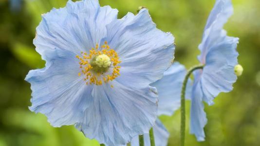 领域花,蓝色的花瓣,草