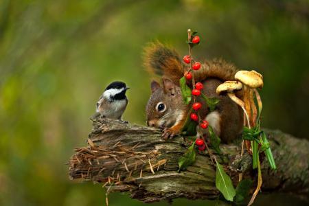 动物,啮齿动物,松鼠,鸟,手套,干,蘑菇,龙虾小山雀的油会透过浆果图片