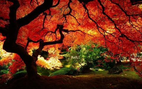 美丽的秋天,仙女树,宽,低,黄冠,树,公园