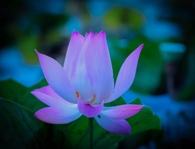 莲花,温柔,花瓣