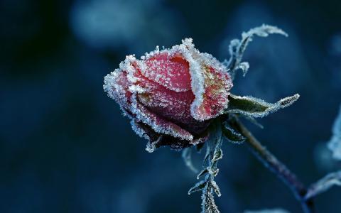 花,玫瑰,宏观照片,主题,弗罗斯特,白霜,黑暗的背景,美丽