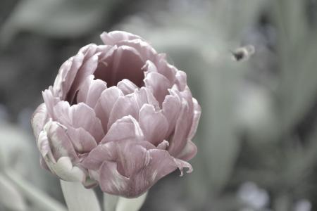 郁金香,美丽的花朵,冷静,花朵,温柔