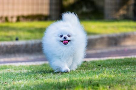 狗,斯皮茨,草坪