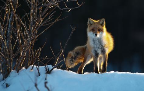 狐狸,看,兴奋,冬天,雪,布什,晚上
