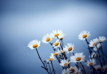 背景,蓝色,鲜花,洋甘菊