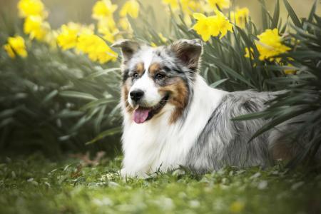 动物,狗,狗,水仙,鲜花,澳大利亚牧羊犬,性质,春天