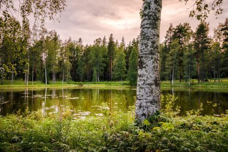 自然,夏天,景观,芬兰,湖,池塘,树木,桦木