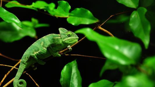 绿色,变色龙,马达加斯加,热带,森林