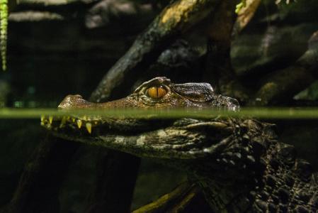 鳄鱼,捕食者,水